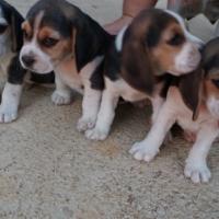 Beagles.