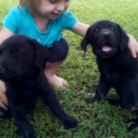 Registered Labrador Puppies