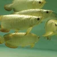 Varieties of freshwater fishes for sale