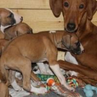 Quality Azawkh Puppies