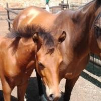 Arib mare and Colt