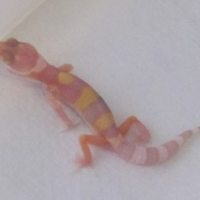 Leopard Gecko's for sale:  Port Elizabeth, Eastern Cape