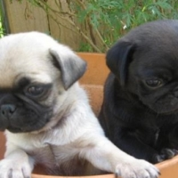 10 Weeks Old Pure Bred Pug puppies