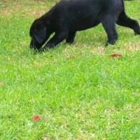 opregte Labradors