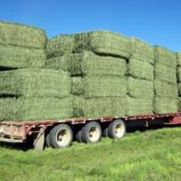 Alfalfa Hay feed per bale
