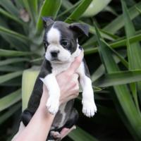 Pragtige Opregte Boston Terrier hondjies