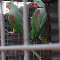Alexandrine pair