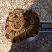 Ball python male