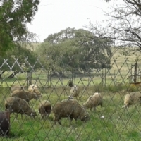 young sheep for sale