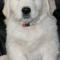 Full English Creme Golden Retriever Puppies Available!