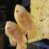 albino oscars