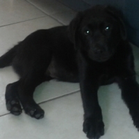 Pedigree Labrodor puppy