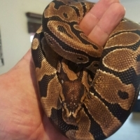 male ball python