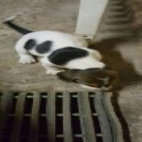 basset hound male