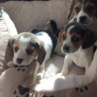 Beagle Puppies Ready Now For Sale
