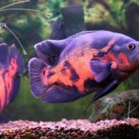 Tiger Oscar / Pangasius Catfish
