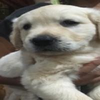 Beautiful Golden Retriever Labrador Puppies for sale