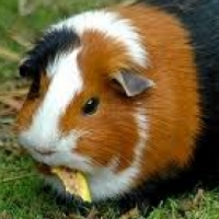 guinea pigs and cages for sale.