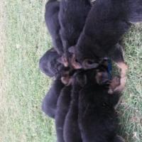 German Shepherds pups