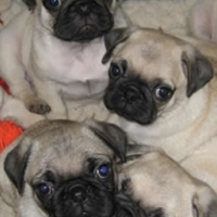 3 Fawn males and 1 fawn female pug puppy for sale