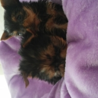 Yorkshire Terrier Puppies from Kusa registered parents. I