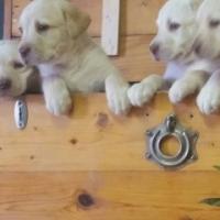labrador white puppies