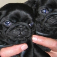 2 Black male pug puppies for sale