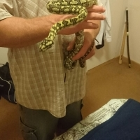 Young carpet python