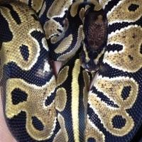 Female ball python 3 months old