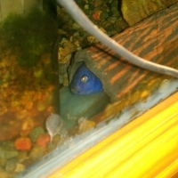 Blue Malawi fish
