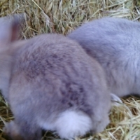 Quality Netherland Dwarf rabbits available