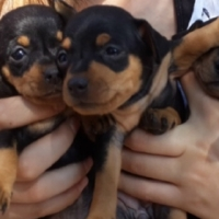 Miniature Doberman Pinchers for sale