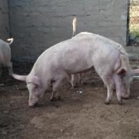 Landrass pigs