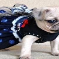Beautiful Miniature Pug babies for sale