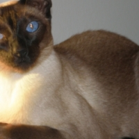 LOST SIAMESE - REWARD
