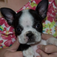 Boston Terrier female puppy for sale