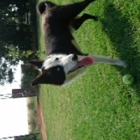 Border collie free to a knowledgeable home
