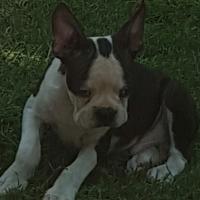 Boston Terrier Reuntjie