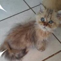 Chinchilla Kitten