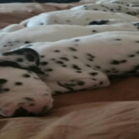Very Quite Dalmatian Puppies!