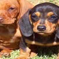 Miniature Dachshund (worshondjies/worsies) Puppies!