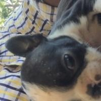 Miniture Bulldog / Boston terrier puppies
