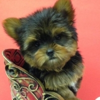 Teacup Size yorkie puppies for sale