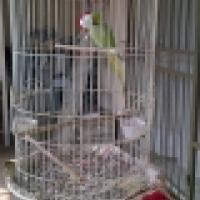 ringnek papegaai