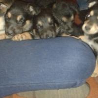 German Sheppard Puppies