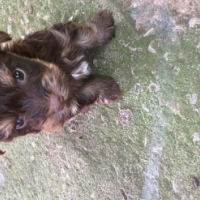 Teacup chocolate yorkie males