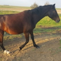 Crossbreed Mare's & Filly for sale, R6000 for both