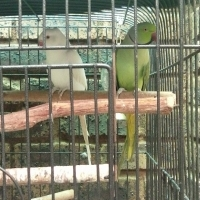 Male and female ringneck