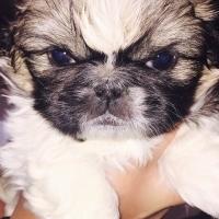 Pekingnese Pups for Sale