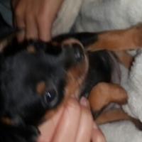 Doberman pincher male pyppy for sale
